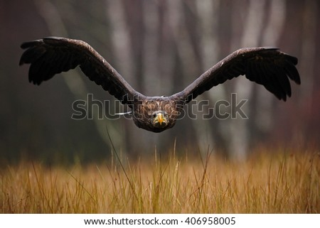 White-tailed Eagle, Haliaeetus albicilla, face flight, bird of prey with forest in background, animal in the nature habitat, wildlife, Norway - stock photo