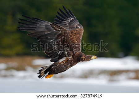 White-tailed eagle, Haliaeetus albicilla, flying bird of prey, snow in the forest habitat, starting from the ice - stock photo