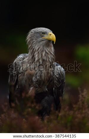 White-tailed eagle (Haliaeetus albicilla) in dark background. White-tailed eagle in bog. Eagle portrait. Sea eagle. Ern. Erne. - stock photo