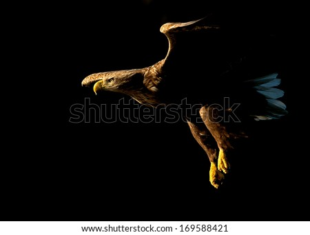 White tailed Eagle (Haliaeetus albicilla) in flight against black background in Norway. - stock photo