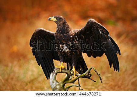 White-tailed Eagle, Haliaeetus albicilla, landing on the tree branch, with brown grass in background. Bird landing. Eagle flight. White-tailed Eagle from Norway. Autumn colours in the forest with bird