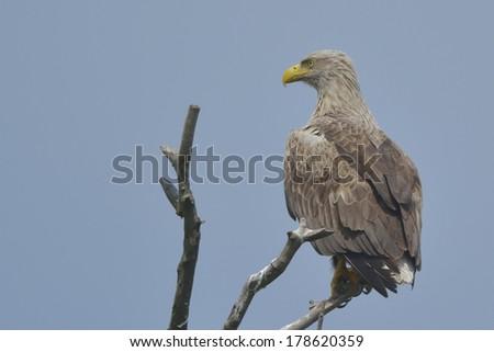 White Tailed Eagle (Haliaeetus albicilla) on a tree - stock photo
