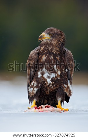 White-tailed eagle, Haliaeetus albicilla, with catch fish in snowy winter, snow in the forest habitat, Norway - stock photo