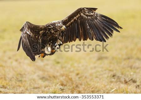 White-tailed eagle hunt on land - stock photo