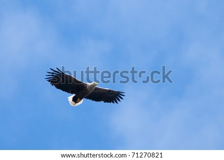 White Tailed Eagle in flight on blue sky
