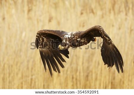 White-tailed eagle is landing - stock photo
