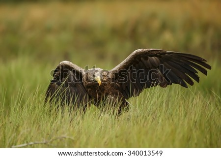 White-tailed eagle  landed in the reeds by the river - stock photo