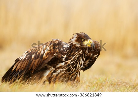 White-tailed eagle on the ground in the grass - stock photo