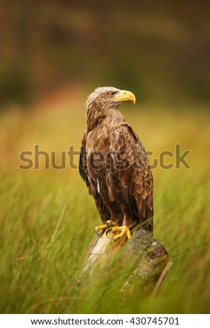 White-tailed eagle sitting on an old log in the middle of reeds on the lake. Bird waiting for prey. - stock photo