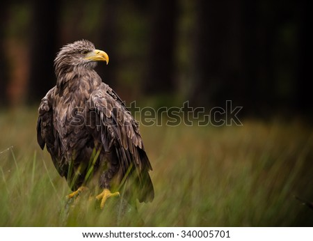 White tailed eagle sitting on old branche.