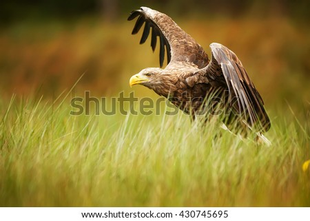 White-tailed eagle starts prey. Eagle wants to catch some food. gorgeous white-tailed eagle spreads large wings. - stock photo