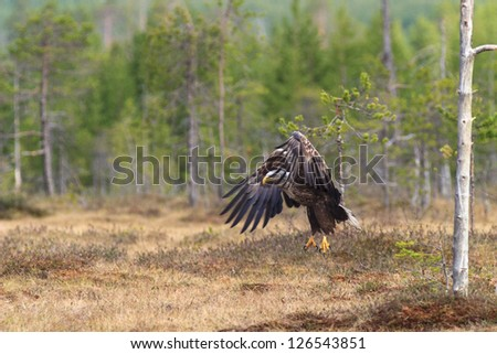 White-tailed Eagle with spread Wings - stock photo