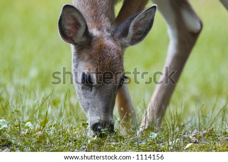 White Tailed Fawn Grazing - stock photo