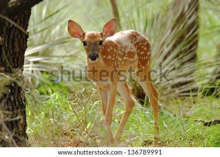 White Tailed Fawn still with white spots seems to express curiosity or could it be fear.  Inks Lake State Park near Burnet Texas. - stock photo