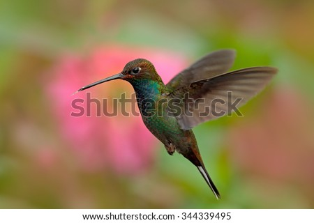 White-tailed Hillstar, Urochroa bougueri, hummingbird in flight before ping flower, Montezuma, Colombia - stock photo