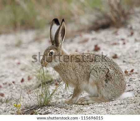 White-tailed Jack Rabbit, Mammoth Hot Springs, Yellowstone National Park