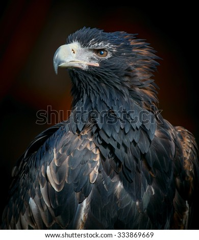 White-tailed Sea Eagle - stock photo