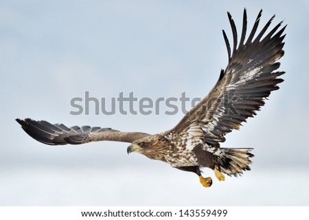 White-tailed Sea Eagle flying above the pack ice. - stock photo