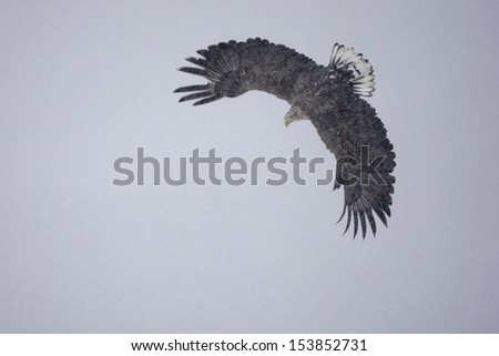 White-tailed sea-eagle, Haliaeetus albicilla, flight, Japan, winter