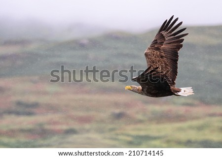 White-tailed Sea Eagle (Haliaeetus albicilla) in flight in the rain, with mountains and cloud in the back ground - stock photo