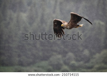 White-tailed Sea Eagle (Haliaeetus albicilla) in flight in the rain with trees in the back ground - stock photo