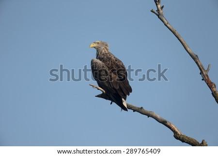 White-tailed sea-eagle, Haliaeetus albicilla, single bird on branch, Romania, May 2015  - stock photo