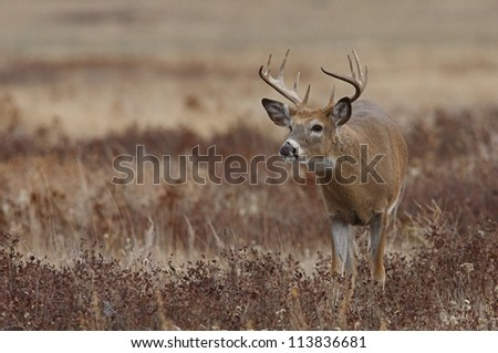 White-tailed / Whitetail buck deer in prairie habitat, Montana; white tailed / whitetailed / white tail / white-tail / deer hunting / big buck / big game hunting