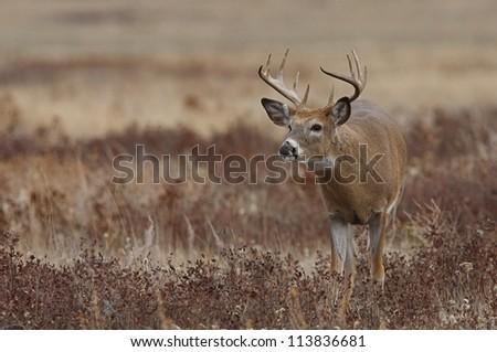 White-tailed / Whitetail buck deer in prairie habitat, Montana; white tailed / whitetailed / white tail / white-tail / deer hunting / big buck / big game hunting - stock photo