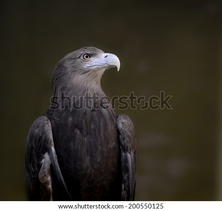 White-talied Sea Eagle