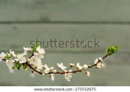White tart cherry blossoms on branch against painted wall copyspace - stock photo