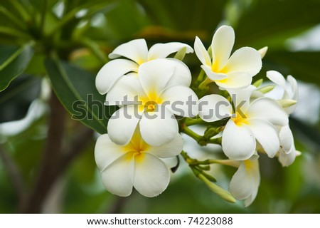 white temple flower - stock photo