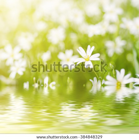 White tender spring flowers, Cerastivum arvense, growing at meadow. Seasonal natural floral background with sun shining and water reflection - stock photo
