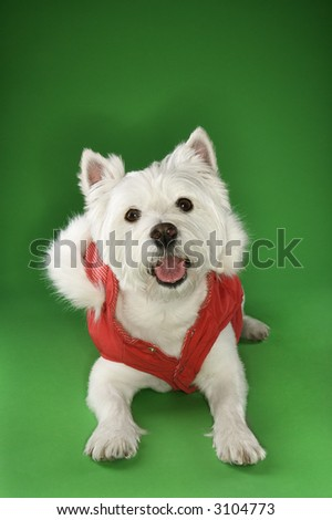 White terrier dog dressed in red coat.