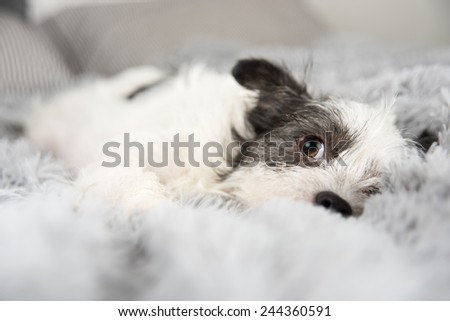White Terrier Mix Napping on Soft Gray Blanket