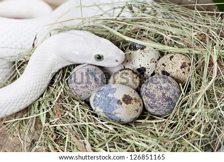 White Texas rat snake on a clutch of eggs - stock photo