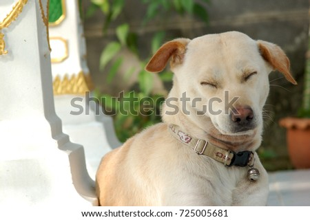 White Thai dog relaxing