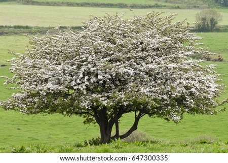 Hawthorn Tree Stock Images RoyaltyFree Images Vectors