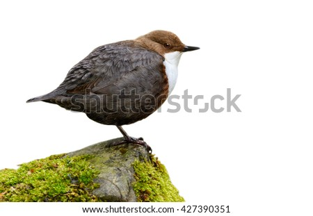 White-throated Dipper (Cinclus cinclus) isolated on white background