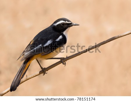 White Throated Stock Images Royalty Free Images Vectors