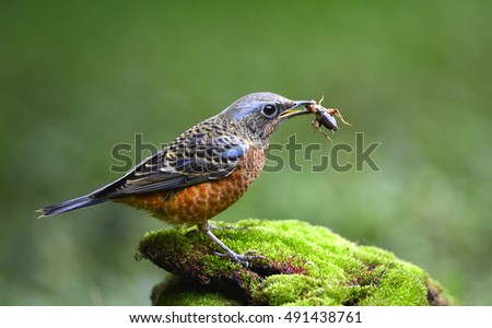 White-throated Rock Thrush(male )
