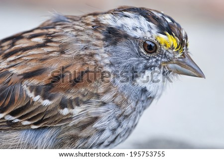 White Throated Sparrow Close-Up