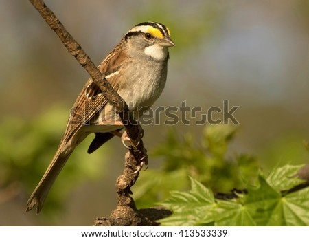 White throated sparrow on a branch   - stock photo