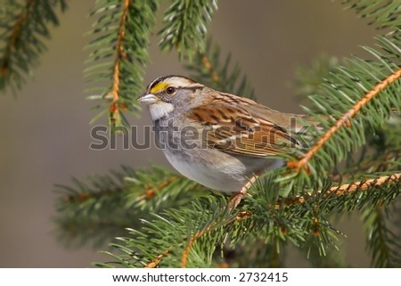 White-throated Sparrow (Zonotrichia albicollis) in a pine tree.  York County, Pennsylvania - stock photo