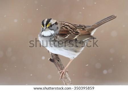 White-throated Sparrow (zonotrichia albicollis) perched on a tree limb with snow falling - stock photo