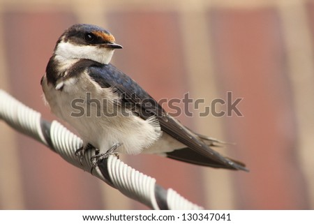 White - throated Swallow. - stock photo
