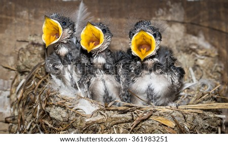 White Throated Swallow Chicks - stock photo