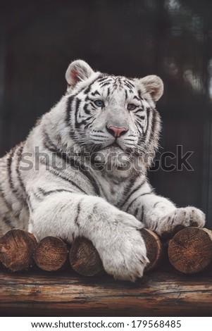 WHITE TIGE in zoo - stock photo