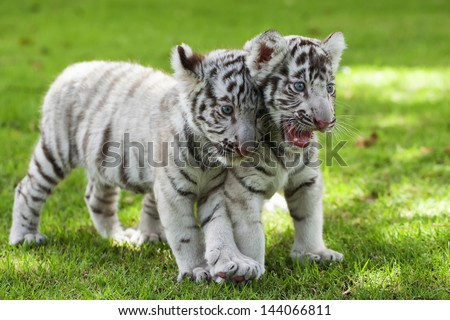 White Tiger. - stock photo
