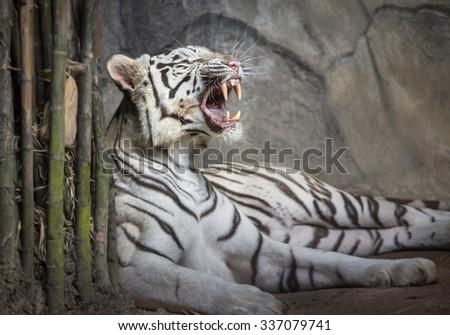 White tiger. - stock photo