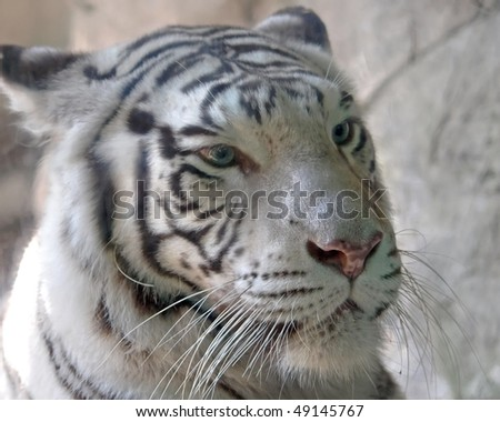 White Tiger a little on the angry side - stock photo